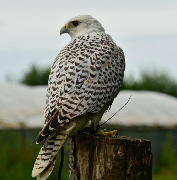 Falcon by eddie1