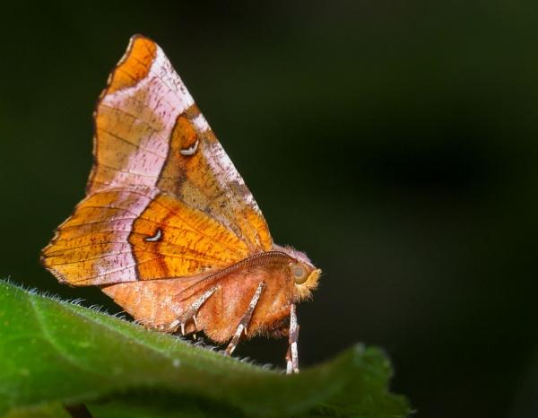 Purple Thorn Moth by ali63
