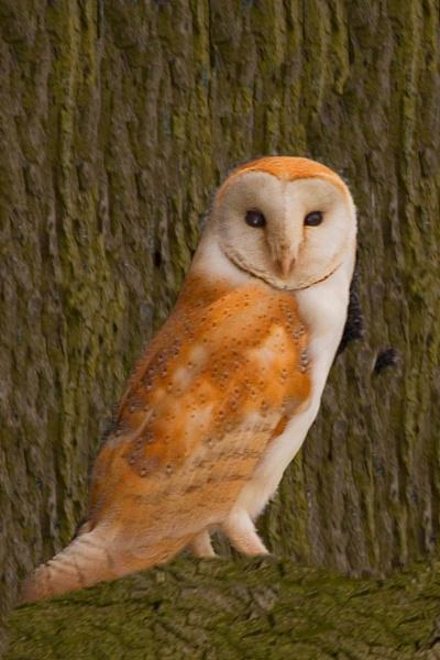 Barn owl by a15trv