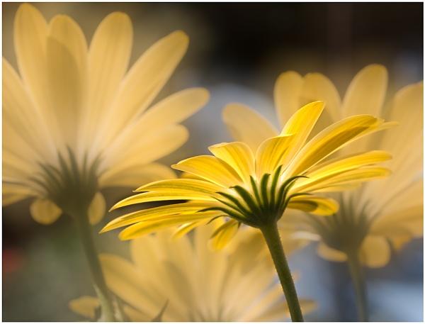 Osteospermum by capto