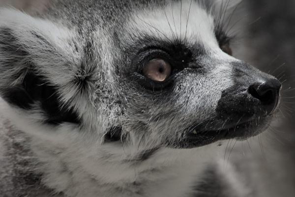 Ring Tailed Lemur by Fernowl