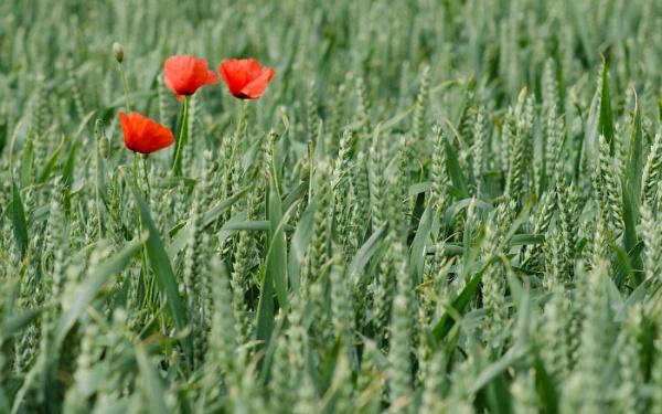 Poppy Field 2 by flowerpower59
