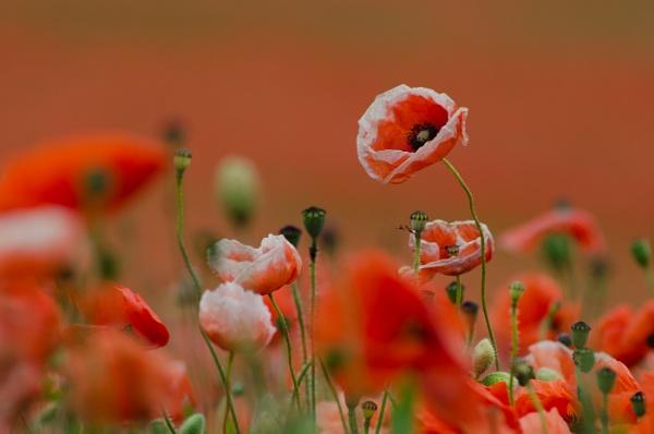 Poppy Field 1 by flowerpower59