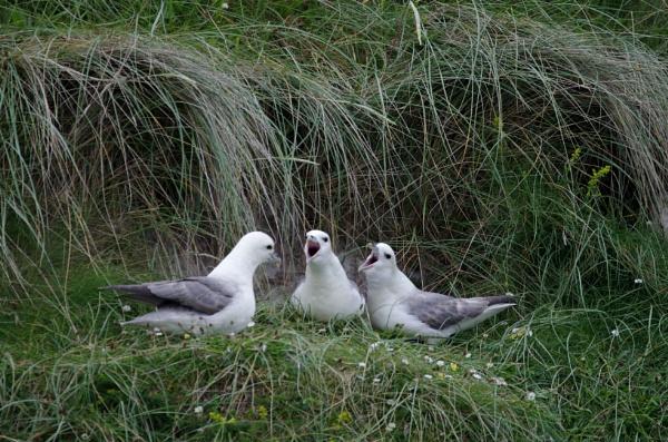 Fulmar choir, Shiant Isles. by cliffy46