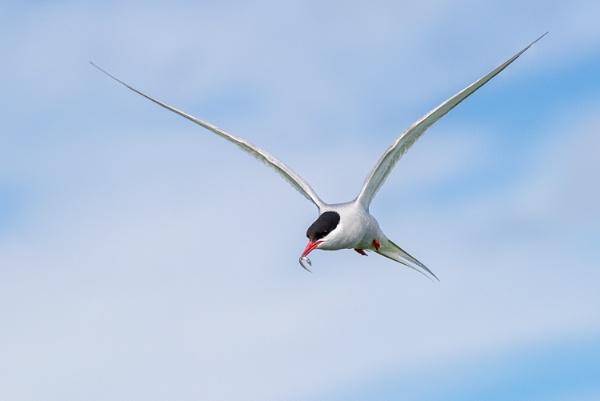 Arctic Tern by max_e