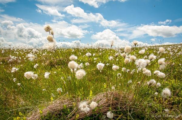 Cotton Grass by gala
