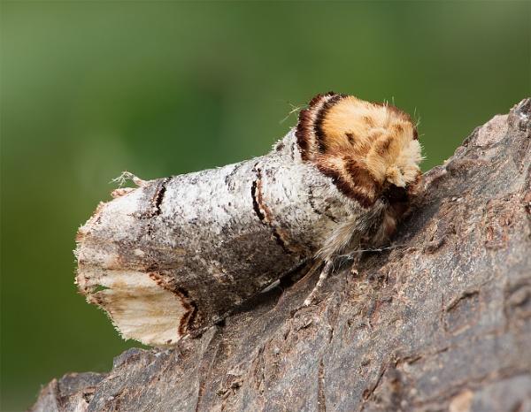 Phalera bucephala - Buff tip moth by Brookhousek