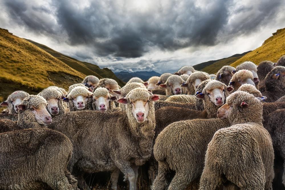 Картинки овец стадо, днем рождения