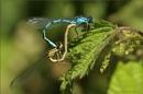 A Pair of Common Blue Damselflies by CarolAnnLauderdale