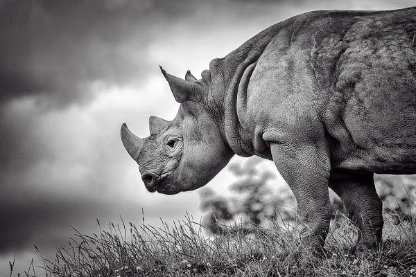 Eastern Black Rhinoceros by shootersclough
