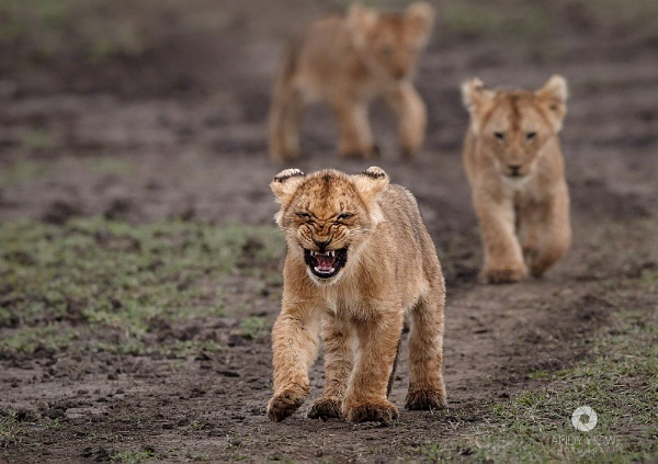 Marsh Pride cubs on the move by Andyhowephotography