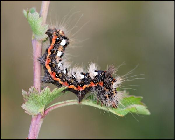 Euproctis similis (Yellow Tail Moth Larva) by zerolimits