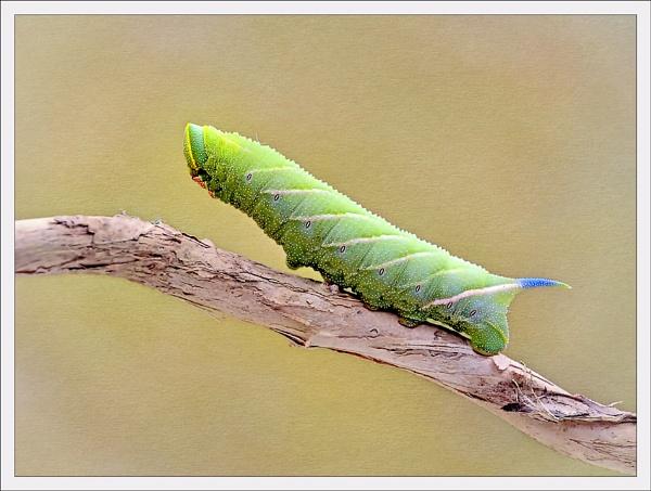 Eyed Hawkmoth caterpillar. by bricurtis