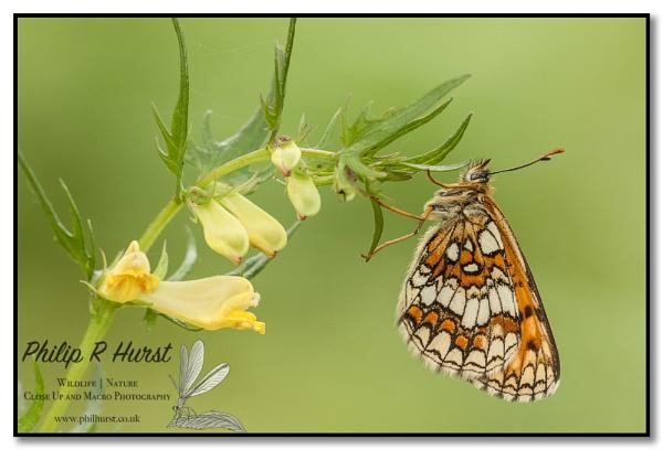 Heath Fritillary by Philh04