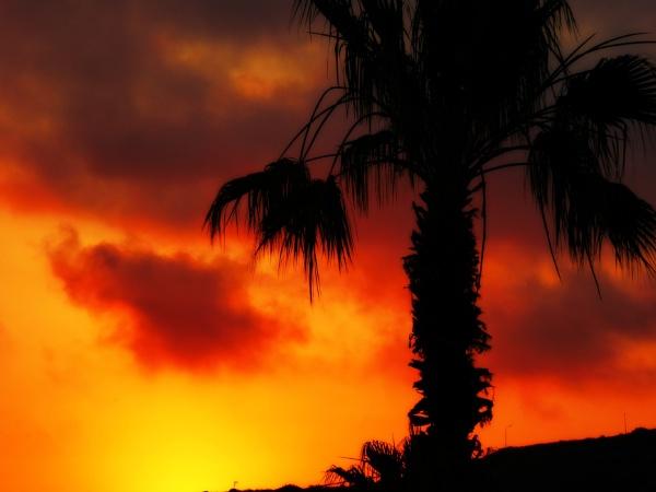 \'Sunset Cypriot Palm\' by sakisuki