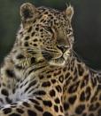 Leopard 1 by iancatch