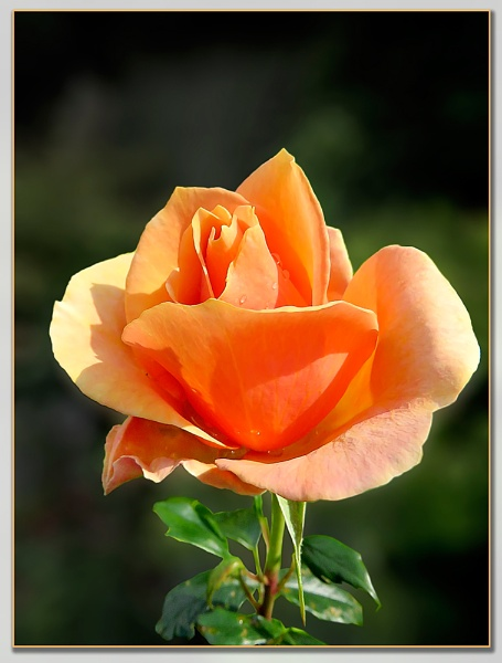 A Special Rose by Sylviwhalley