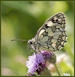 Marble White (Melonargia galathia) (I)