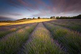 Lavender Field, Shoreham, Kent