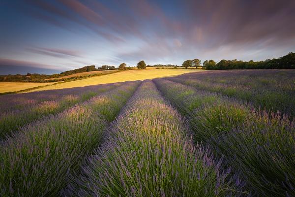 Lavender Field, Shoreham, Kent by derekhansen