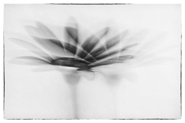 Osteospermum by AnnChown