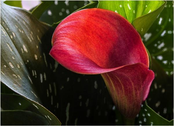 Cala Lily 3 by Irishkate