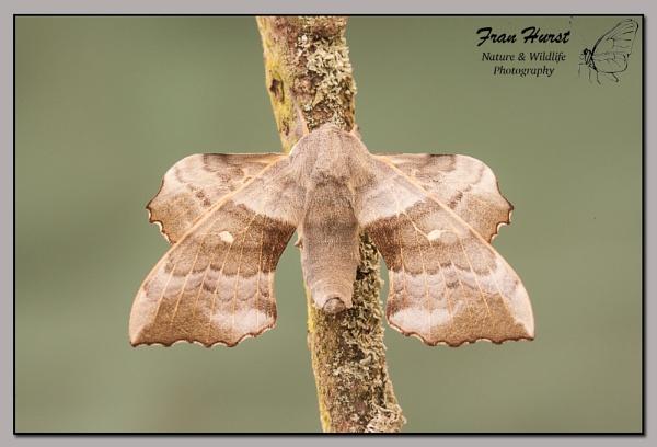 Poplar Hawkmoth by daffydill56