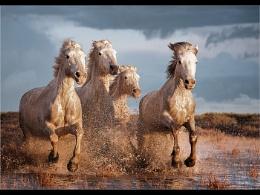 Carmargue Horse Gallop