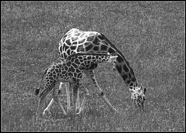 Giraffes by notsuigeneris