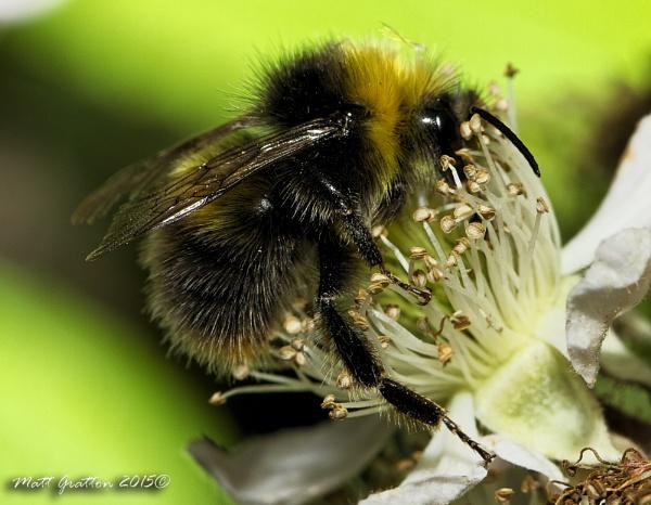 humble bee by mohikan22