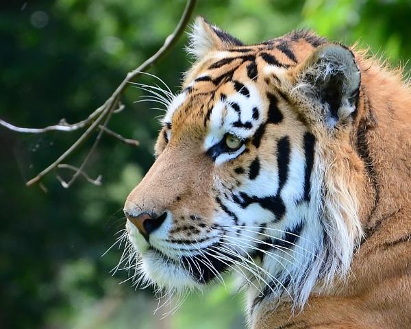 Amur Tiger by Holmewood
