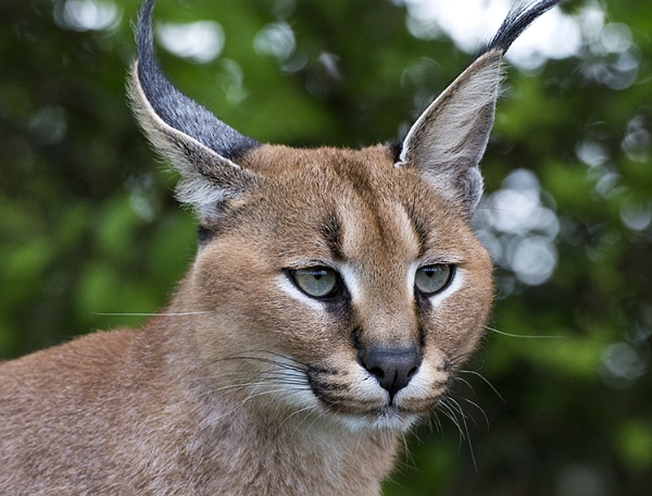 Caracal by Quoise