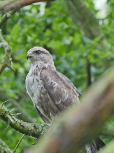Young Buzzard by Ted447