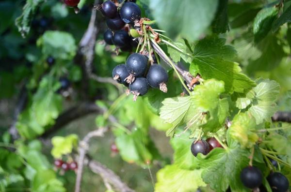 Fresh Blackcurrants by cdnikon