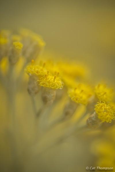 Curry Plant (Helichrysum) by gala