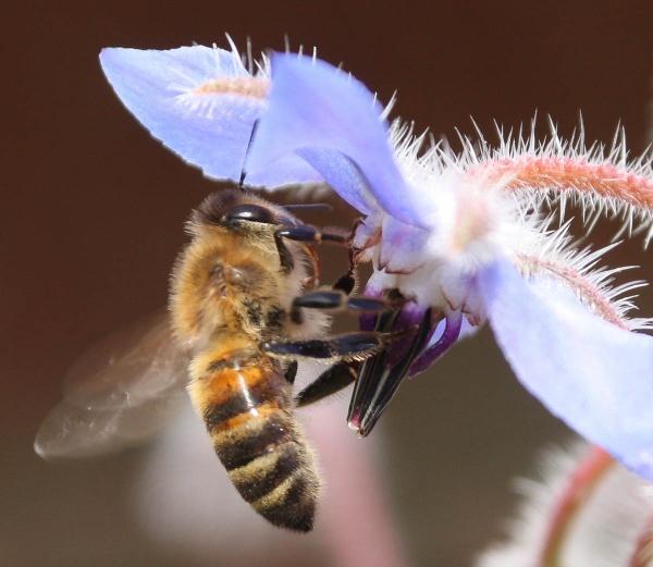 Bee on Borage by oddlegs