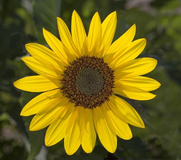 Sunflower by fotolooney