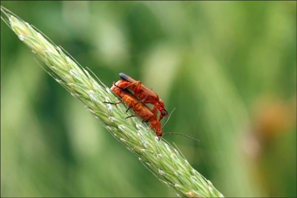 Common Soldier Beetle (Rhagonycha fulva) by zerolimits
