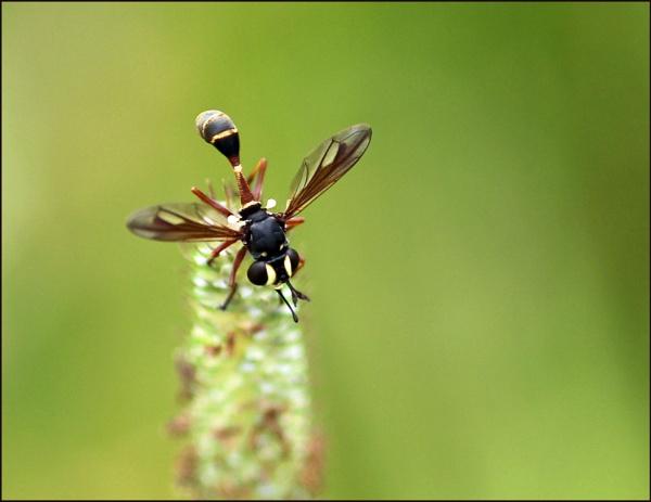 Thick-headed fly. (Conops quadrifasciatus) by zerolimits
