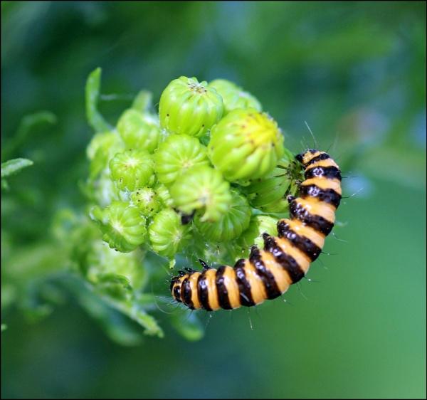 Cinnabar Moth Larva. (Tyria jacobaeae) by zerolimits
