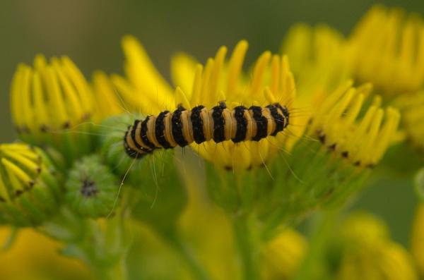 Cinnabar Moth caterpillar by alfpics