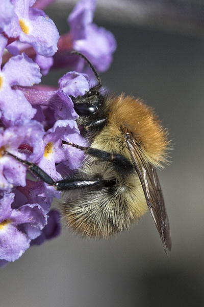 Common Carder Bee by ValSaxby