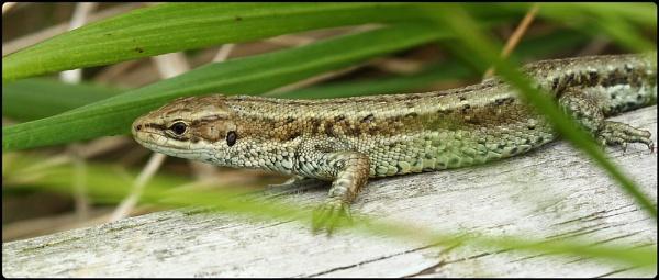 Common Lizard basking by Glostopcat