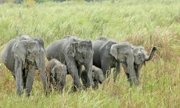 Asian Elephants by kedargore