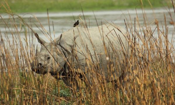 Greater One-horned Rhinoceros by kedargore