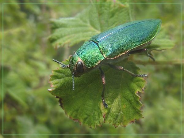 jewel beetle by CarolG