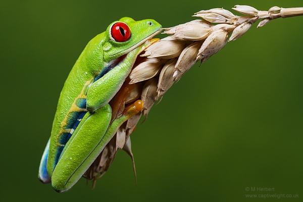 Harvest Frog by Miles Herbert