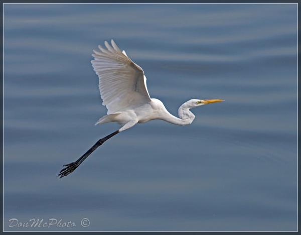 Great Egret 15-04 (XXI) (Ardea alba) by DonMc