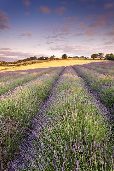 Shoreham Lavender 2 by derekhansen
