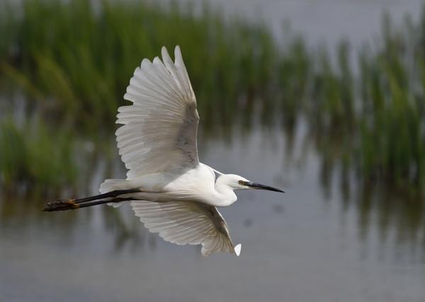 Little Egret by Malty